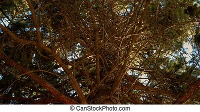 The pine forest tree