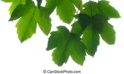 Maple leaves - Beautiful green maple leaf on a white...