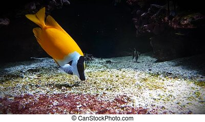 Foxface Rabbitfish - Siganus Vulpinus - Beautiful Yellow...
