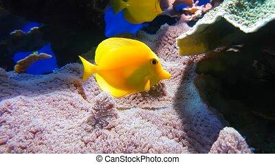 Yellow Tang Zebrasoma Flavescens - Marine Fish Yellow Tang...