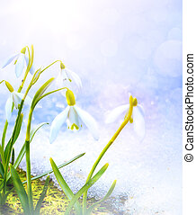 Art Spring snowdrop flowers with snow in the forest -...