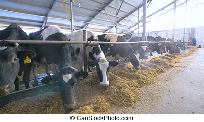 Dairy cows in a modern stable. Wide shot. 4K.