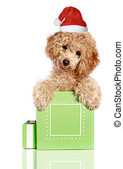 Chrismas poodle puppy in a gift box
