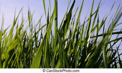 Leaves of grass. tops of the young reed - Leaves of grass....