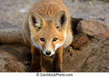 Red Fox pup in Saskatchewan
