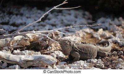 Gray iguana lizard on rocks at sunny day