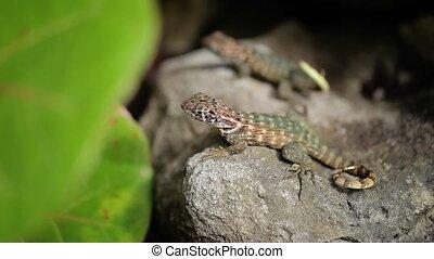 Lizards on rocks - Two lizards on rocks closeup