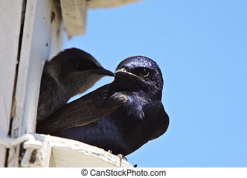 Purple Martin pair in birdhouse