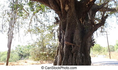 Large ficus. Sacred Banyan tree in India (animism), however,...