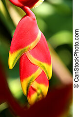 Photo beautiful Heliconia on a blurred background