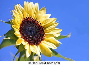 Yellow Sunflower Against a Blue Sky