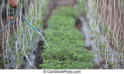 Plant watering in greenhouse - Watering of tomato plant...