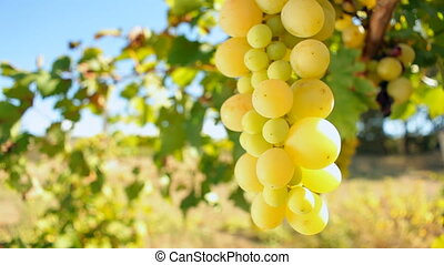 Juicy Grapes - Grape bunch of white color in the wind....