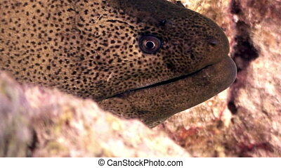 Moray close up underwater on background marine landscape in Red sea.
