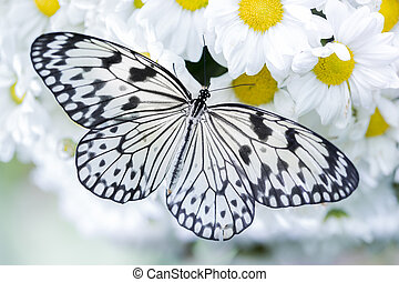 Butteryfly feeding on white flowers (tiger butterfly)