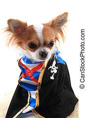 chihuahua as pirate