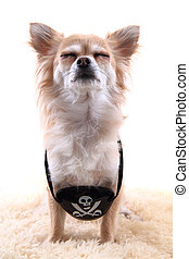 chihuahua as pirate on the white background