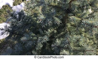 Branches of blue spruce on a background of snow-covered...