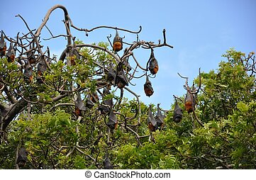 Fruit bats in royal botanic garden Sydney
