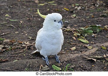 Sulphur Crested Cockatoo - a Sulphur Crested Cockatoo