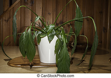 Dehydrated house plant with drooping leaves - Dehydrated...