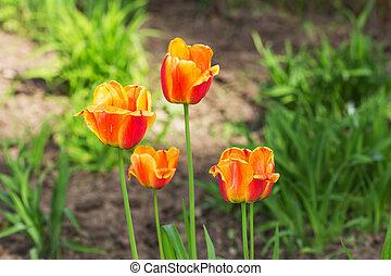 orange tulips in spring