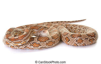 corn snake eating mouse in front of white background