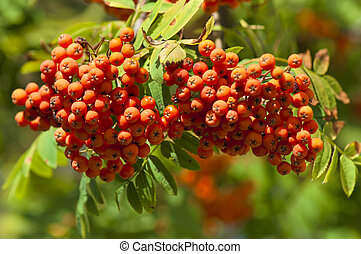 Branch of mountain ash with ripe fruits in the wild nature