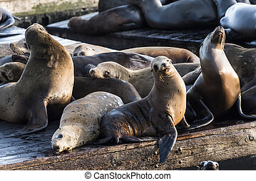 Sea Lions - California sea lions (Zalophus californianus)...