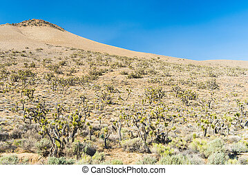 Joshua tree in the desert - Many Joshua trees (yucca...