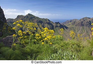 Flora of Gran Canaria, giant dennel plants Ferula linkii...