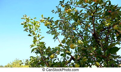 The apple tree with ripe apples