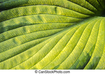 Leaf texture of Hosta (Funkia). Natural green and yellow...