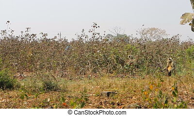 Monkeys Langur devastate fields of Indian farmers 2. Methods...