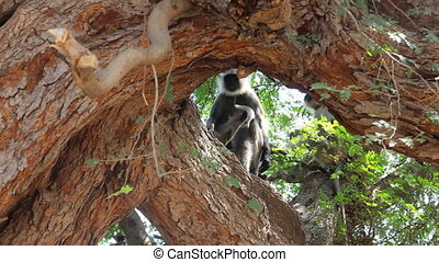 Langur monkeys are hiding in crown of old acacia tree....