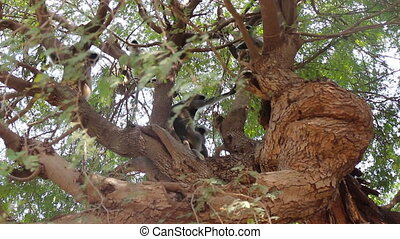 Langur monkeys are hiding in crown of old acacia tree 2....