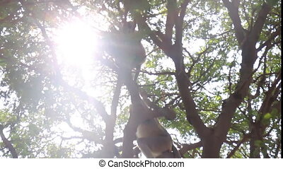Langur monkeys are hiding in crown of old acacia tree 4....