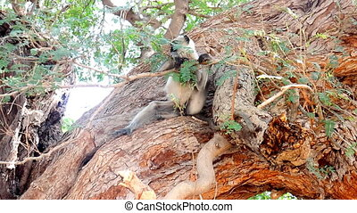 Langur monkeys are hiding in crown of old acacia tree 3....