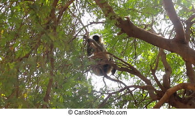 Langur monkeys are hiding in crown of old acacia tree 5....
