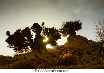 Sunset through tree in the desert