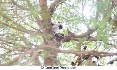 Langur monkeys are hiding in crown of old acacia tree 6....