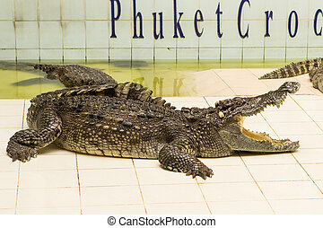Thailand, zoo Show of crocodiles at Crocodile Farm and Zoo -...