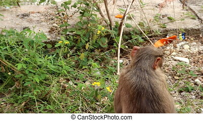 Indian macaque feeds on pods of bean plants 1. Kerala