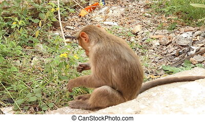 Indian macaque feeds on pods of bean plants 2. Kerala