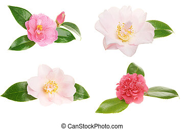 Collection of camellia flowers isolated on white