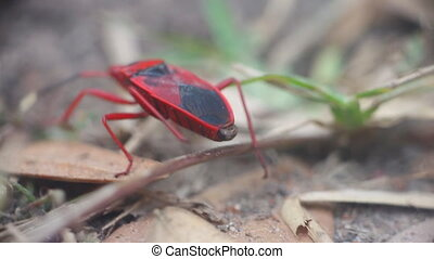 Unusual insects. Red bug finds its way pedipalpi and touches...