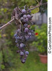 Sick grape