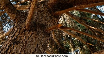 Trunk of pine tree with branches , look from ground upwards,...