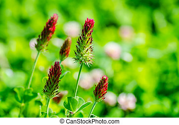 red clover in summer - fresh red clover in summer