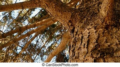 Pine tree in morning pinewood forest - Pine tree branches in...